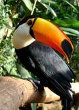 Oiseau de Toucan Images stock