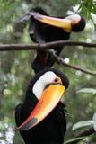 Oiseau de Toucan Photographie stock libre de droits