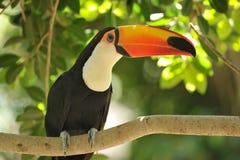 Oiseau de Toucan dans la jungle image libre de droits