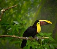 Oiseau de Toucan sur le membre Photos stock