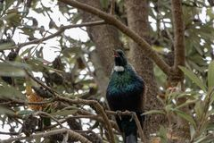 Oiseau de Tui, Nouvelle-Zélande, chantant dans l'arbre de Banksia images libres de droits