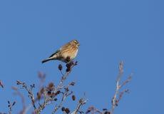 Oiseau de Twite Photos libres de droits