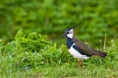 Oiseau de vanneau huppé sur l'herbe Photos stock