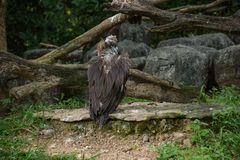Oiseau de vautour images stock