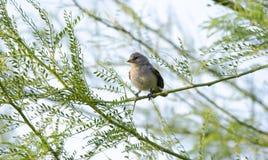 Oiseau de Verdin, désert de Tucson Arizona photographie stock libre de droits