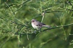 Oiseau de Verdin, désert de Tucson Arizona image stock