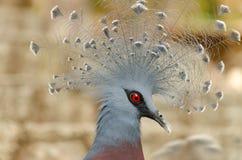 Oiseau de Victoria Crowned Images libres de droits