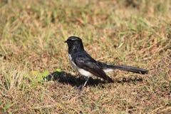 Oiseau de Wagtail de Willie sur l'herbe sèche Photos libres de droits