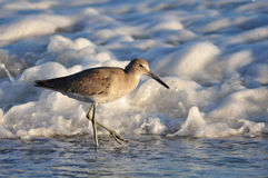Oiseau de Willet Photos libres de droits