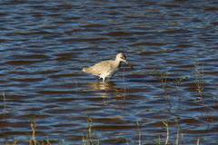 Oiseau de Willet Images libres de droits