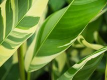 Oiseau des feuilles de vert de paradis avec les rayures blanches Images libres de droits