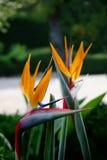 Oiseau des fleurs de paradis Photographie stock libre de droits