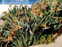 Oiseau des fleurs de paradis dans le jardin d'hôtel à Funchal Madère Photos stock
