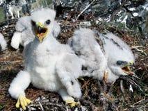 Oiseau des oisillons de proie Photos libres de droits