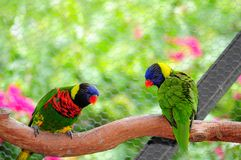 Oiseau, deux lorikeets Photo stock