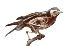 Oiseau disséqué avec le squelette Photographie stock libre de droits
