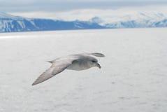 Oiseau du nord de fulmar (glacialis de fulmar) glissant au-dessus de l'Arctique Photos libres de droits