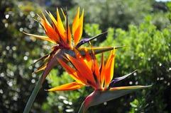 Oiseau du paradis photo stock
