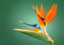 Oiseau du paradis image stock