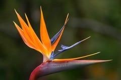 Oiseau du paradis Image libre de droits