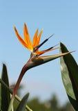 Oiseau du paradis Images libres de droits