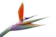 Oiseau du paradis photo libre de droits