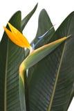 Oiseau du paradis Photos stock