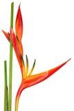 Oiseau du paradis, fleur tropicale, d'isolement Photographie stock libre de droits