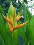 Oiseau du paradis jaune Image libre de droits