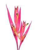 Oiseau du paradis rouge Photo libre de droits