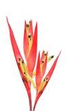 Oiseau du paradis rouge d'isolement Images libres de droits
