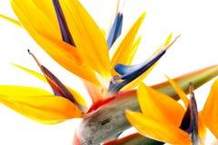 Oiseau du paradis sur le fond blanc images stock