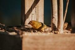 Oiseau du ` s de Jolimont image libre de droits