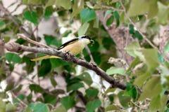 Oiseau du schach sauvage de Lanius sur une branche avec un insecte dans lui Photos stock