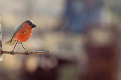 Oiseau en bois rouge sur une branche Photos stock