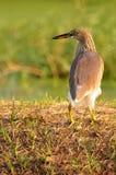 Oiseau en nature (héron chinois d'étang) Photos libres de droits