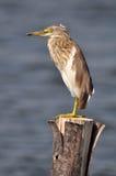 Oiseau en nature (héron chinois d'étang) Image libre de droits