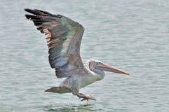 oiseau Endroit-affiché de pélican Photographie stock