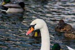 Oiseau et canard blancs de cygne dans un lac Image libre de droits