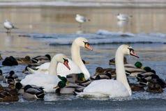 Oiseau et canards blancs de cygne dans un lac Photos stock