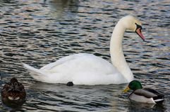 Oiseau et canards blancs de cygne dans un lac Photo libre de droits