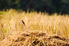 Oiseau et champ de maïs Photos libres de droits