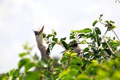 Oiseau et jeunes de héron de grand bleu dans le nid Image libre de droits