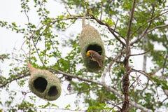 Oiseau et nid de tisserand Photos libres de droits