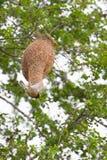 Oiseau et nid de tisserand Photo stock