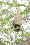 Oiseau et nid de tisserand Images stock