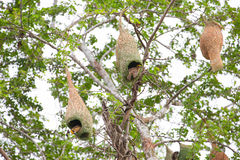 Oiseau et nid de tisserand Image stock