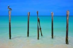 Oiseau et plage de Manchebo Images libres de droits
