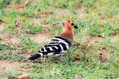 Oiseau eurasien de huppe Images libres de droits