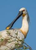 Oiseau eurasien de spatule Image stock